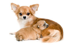 Dog of breed chihuahua and its puppy Royalty Free Stock Image