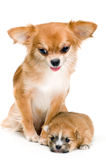 Dog of breed chihuahua and its puppy stock photo