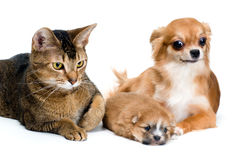 Dog of breed chihuahua and its puppy with a cat royalty free stock photography