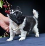 Dog. Breed - Chihuahua Royalty Free Stock Photos