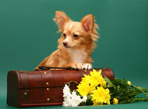 Dog of breed chihuahua is in a trunk. Dog of breed chihuahua. Dog of breed chihuahua on a green background Royalty Free Stock Photo