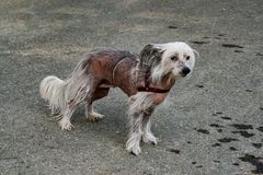 Dog breed Chinese crested closeup on the background of the tarmac with a rope Stock Photos