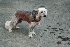 Dog breed Chinese crested closeup on the background of the tarmac with a rope Stock Photography