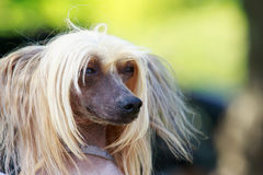 Dog breed Chinese Crested. Portrait of amazing Chinese Crested Dog in summer stock photo
