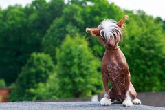 Dog breed Chinese Crested. Sits in the open air stock image
