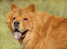 Dog breed of Chow-chow Stock Image