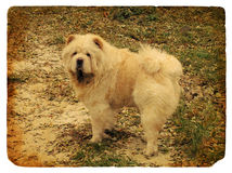 Dog breed Chow Chow. Old postcard. Royalty Free Stock Photo
