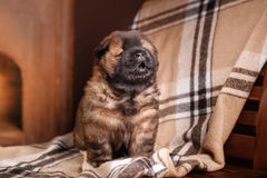 Dog breed chow chow puppy Stock Photo