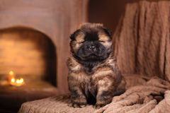 Dog breed chow chow puppy Royalty Free Stock Photo