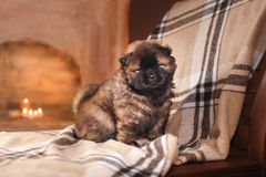 Dog breed chow chow puppy Stock Images