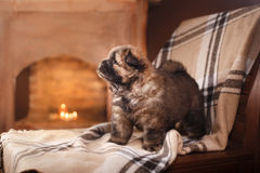 Dog breed chow chow puppy Stock Photos