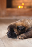 Dog breed chow chow puppy Royalty Free Stock Image