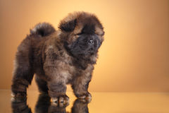 Dog breed chow chow puppy Stock Image