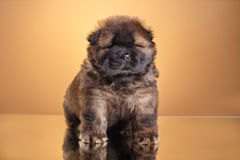 Dog breed chow chow puppy Royalty Free Stock Photos