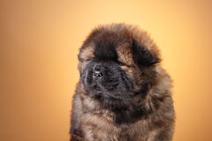 Dog breed chow chow puppy Royalty Free Stock Images
