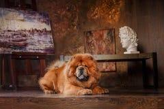 Dog breed  chow chow Stock Photos