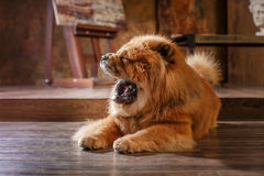 Dog breed  chow chow Stock Image
