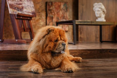 Dog breed  chow chow Stock Photo