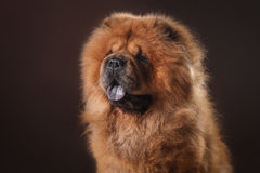 Dog breed chow chow Royalty Free Stock Photo
