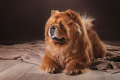 Dog breed chow chow Stock Images