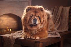 Dog breed chow chow Stock Photos