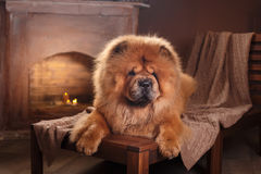 Dog breed chow chow Royalty Free Stock Photos