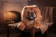 Dog breed chow chow Stock Photography