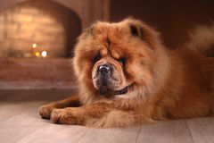 Dog breed chow chow Royalty Free Stock Images