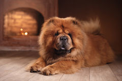 Dog breed chow chow Royalty Free Stock Image