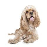 Dog breed cocker spaniel stock image