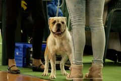 Continental Bulldog Photo from the National Dog Show in Nowy Dwór Mazowiecki in Poland. Dog of breed: Continental Bulldog Photo taken on the National Dog Show royalty free stock photo