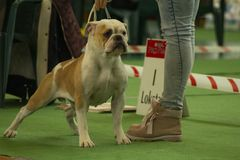 Continental Bulldog Photo from the National Dog Show in Nowy Dwór Mazowiecki in Poland. Dog of breed: Continental Bulldog Photo taken on the National Dog Show royalty free stock photography