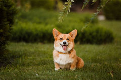 Dog breed Corgi on the grass. The Corgi dog sitting on the grass Royalty Free Stock Images