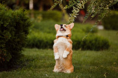 Dog breed Corgi on the grass. Dog breed Corgi stands on two legs royalty free stock image