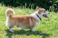 Dog breeds corgi played and photographed on the lawn. Dog breed corgi played and photographed in the park royalty free stock images