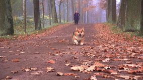 A dog of the breed Corgi walks in the autumn park with his mistress woman