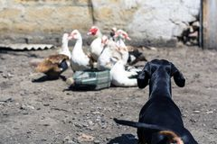 Dog breed dachshund black tan hunting, barking at ducks in the village in summer.  stock images