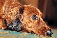 Dog breed dachshund. Dog lying Royalty Free Stock Image