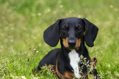 Dog breed dachshund Royalty Free Stock Images