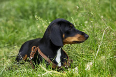 Dog breed dachshund Stock Images