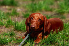 Dog breed dachshund Royalty Free Stock Photography