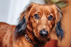 Dog breed dachshund Stock Images