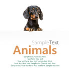 Dog breed dachshund Stock Photo