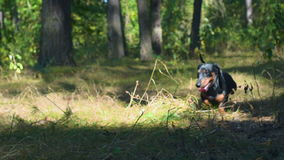 The dog breed of dachshund running. Around in the coniferous woods stock footage