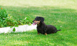 The dog of breed a dachshund runs on lawn. Royalty Free Stock Photography