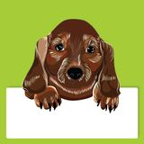 Dog breed dachshund Stock Photography