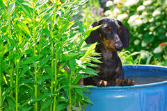 The dog breed dachshund sitting in a barrel with water Stock Images