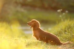 Dog breed dachshund Royalty Free Stock Image
