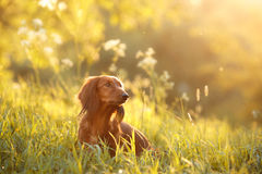 Dog breed dachshund. Walking in the evening, in the summer in the park Stock Photo