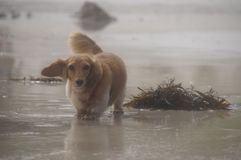 The dog is on the beach. The dog breed Dachshund walks on the beach. A warm wind is blowing. On the shore threw seaweed Royalty Free Stock Images